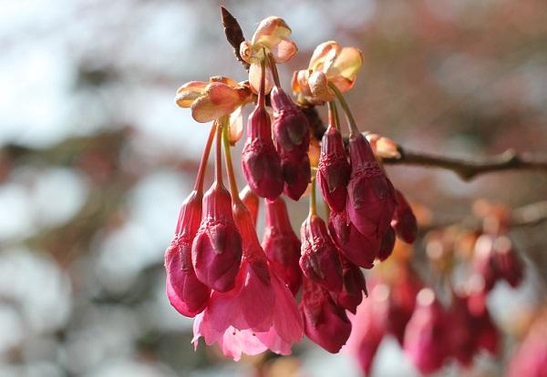 寒緋桜の蕾の写真