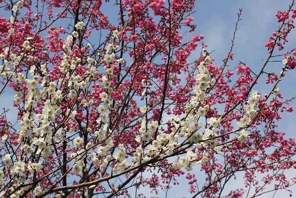 満開の寒緋桜と満開の白い梅の写真
