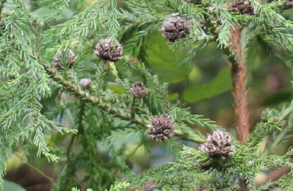 杉に実った実の写真