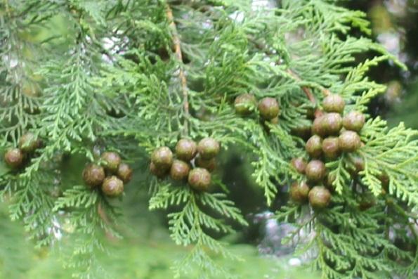 10月、檜の木に若い実がたくさんついてる様子の写真