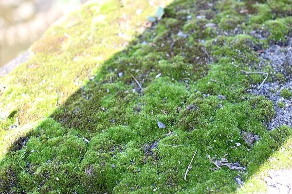 道端に生えてる緑の苔(ホソウリゴケやギンゴケ)