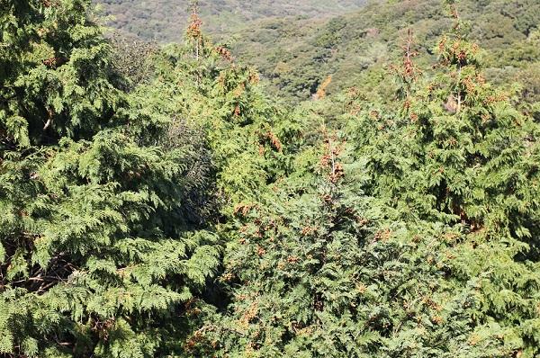 山の檜の写真(大きな檜)
