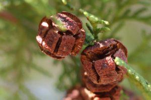 檜の実のアップ写真