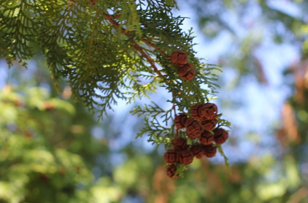 葉の先に檜の実がついてる様子の写真