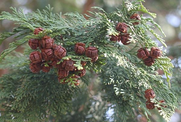 12月、檜に茶色の実がたくさんついてる様子の写真