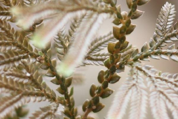 イヌカタヒバのアップ、腹葉の様子の写真