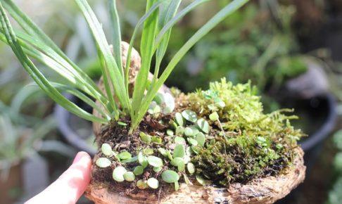 マメヅタと軒忍、苔、流木で作った盆栽の写真