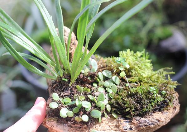 流木で作ったノキシノブとマメヅタの盆栽の完成品
