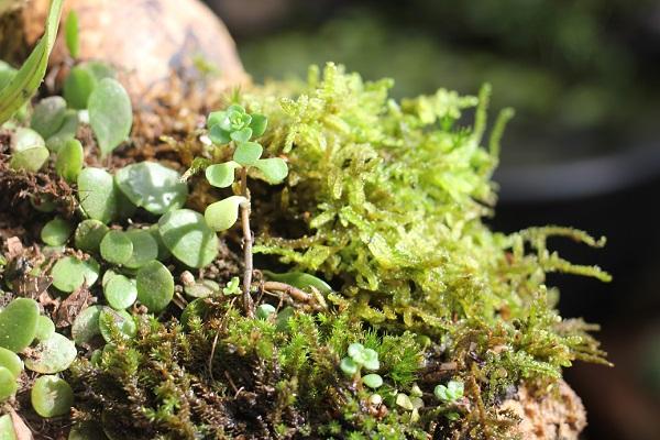 流木で作った盆栽、苔やマメヅタ、草などのアップ写真