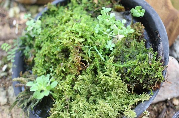 鉢の受け皿で育ててる様々な苔の写真