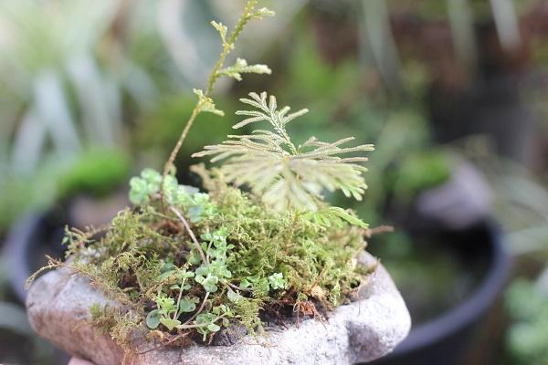 石の上の苔とシダの小さな盆栽