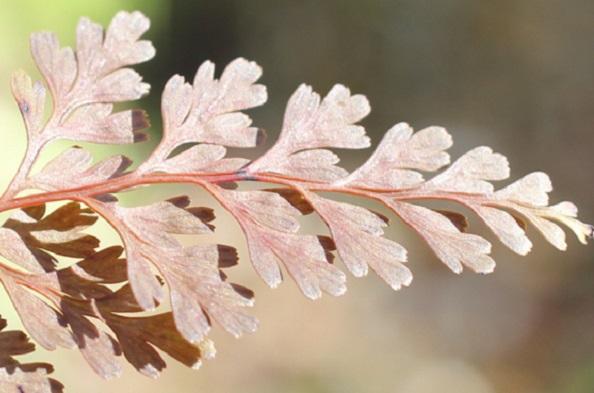 紅葉したホラシノブのアップ写真