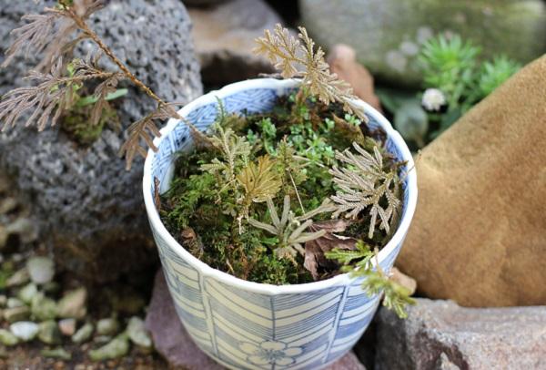 イヌカタヒバを苔と一緒に育ててる写真