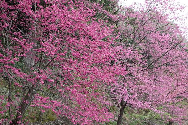大きな寒緋桜の木、満開の様子