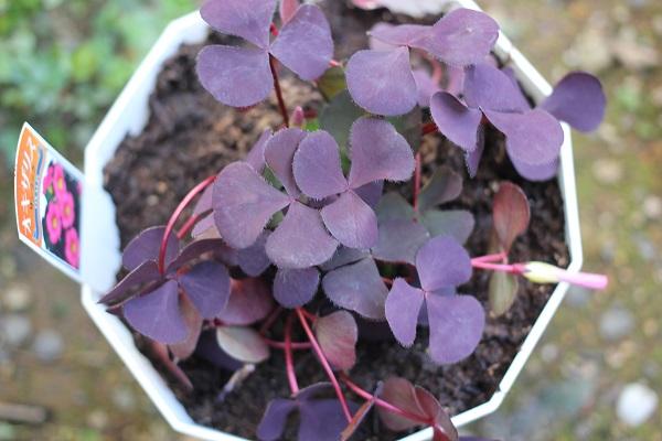 1年前に買って鉢植えにしたオギザリス・サンラックの写真