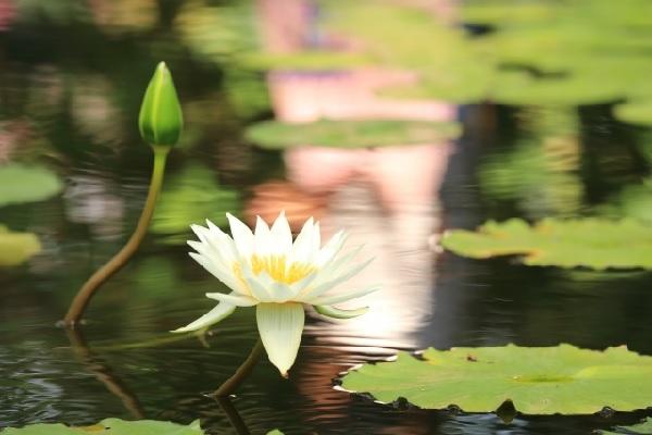 白い蓮の花の写真