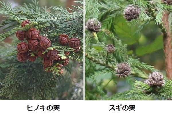 ヒノキの実とスギの実の比較写真