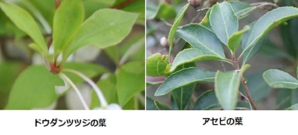 ドウダンツツジの葉、アセビの葉の比較写真