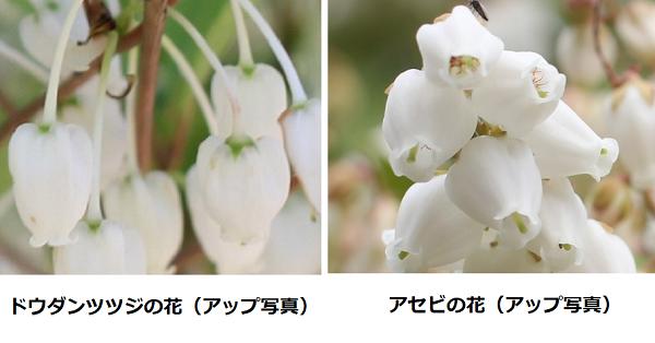 ドウダンツツジの花アップ・アセビの花のアップ 比較写真