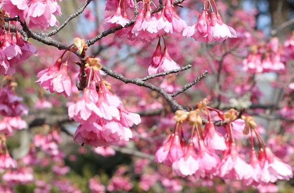 寒緋桜の花がうつむき加減に咲いてる様子の写真