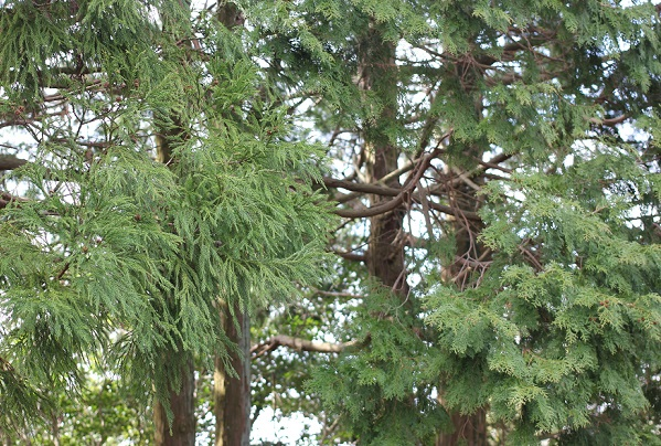 公園で見かけたスギの木とヒノキの木の写真