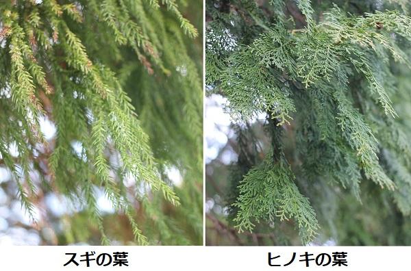 スギの葉とヒノキの葉 比較写真