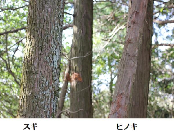 スギの樹木とヒノキの樹木(幹の部分) 比較写真
