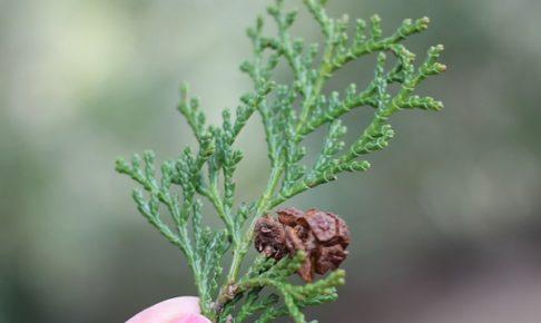 檜の葉と実の写真