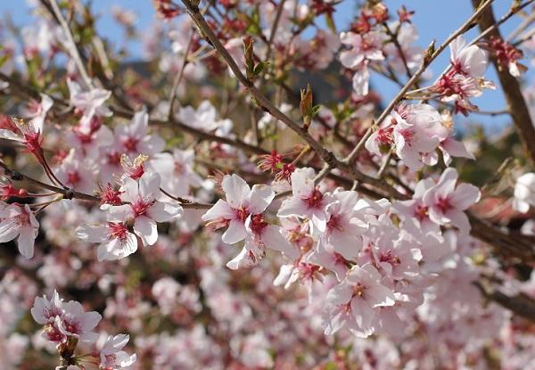 小彼岸桜 満開の写真