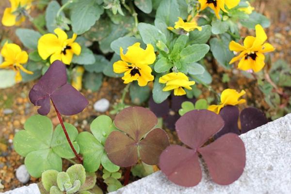 花壇のすみ、ビオラとオギザリス・サンラックの葉の写真