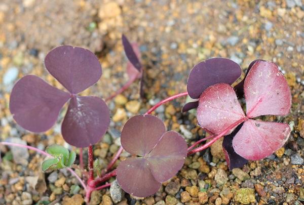 庭で芽を出したオギザリス・サンラックの写真