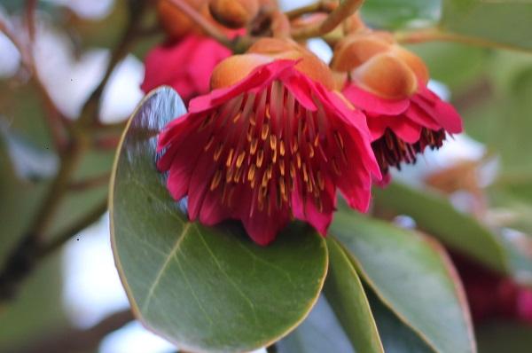 美しいロドレイアの花と葉のアップ写真