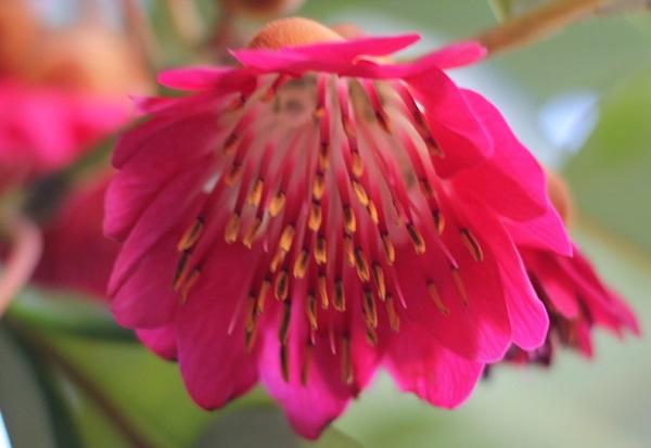開花したロドレイアの花のアップ写真