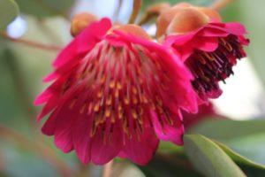 美しいロドレイアの花のアップ写真