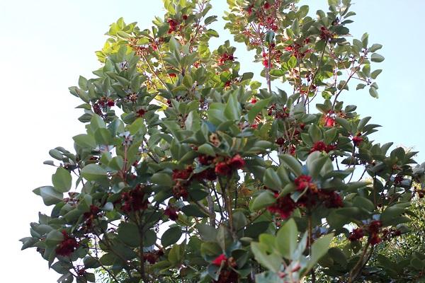 ロドレイアの木、花がたくさん咲いてる様子の写真