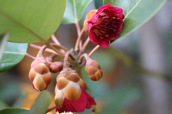 ロドレイアの花と蕾の写真