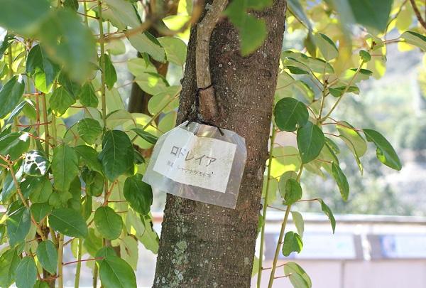 ロドレイアの木の様子と名札の写真