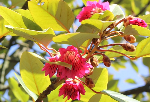 ロドレイアが美しく咲いてる様子の写真