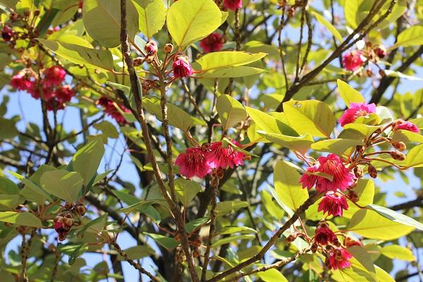 大きなロドレイアの木に咲く花の様子の写真