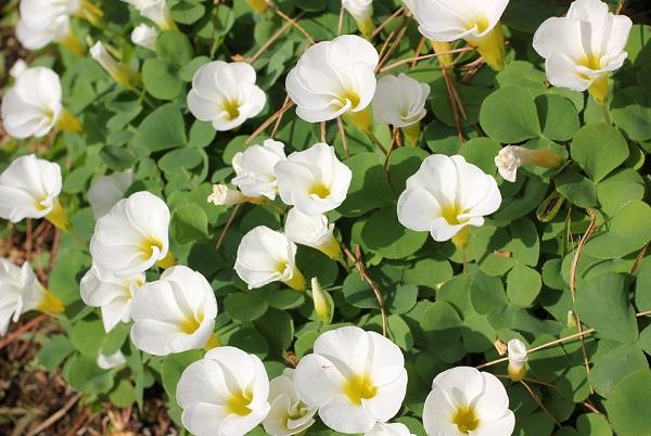 美しい白いオギザリス、「オキザリス バリアビリス」の写真