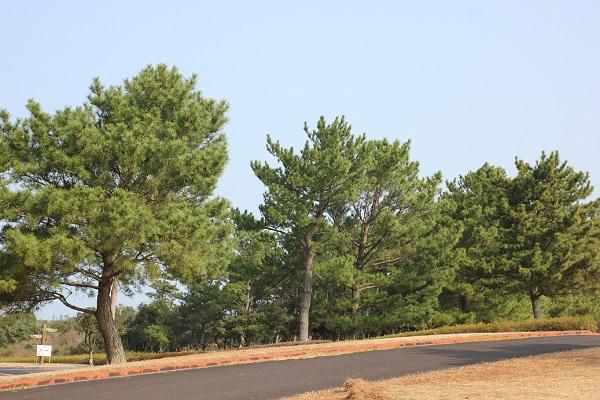 吹上浜海浜公園の松林の写真