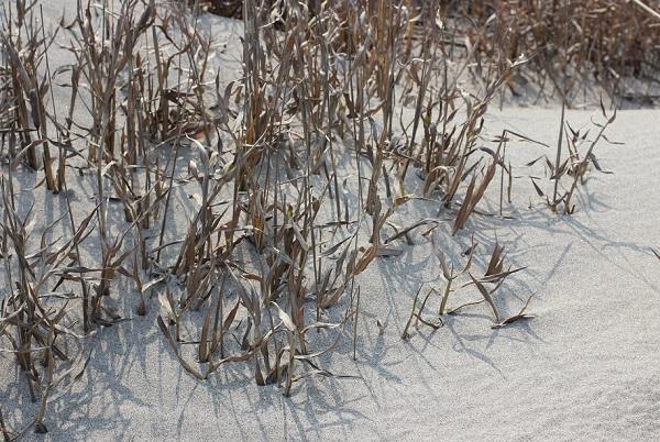 吹上浜海岸砂丘の砂と植物の写真
