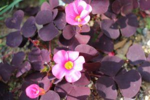 紫の葉のオギザリスの写真