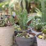 多肉植物とサボテンの寄せ植えの写真
