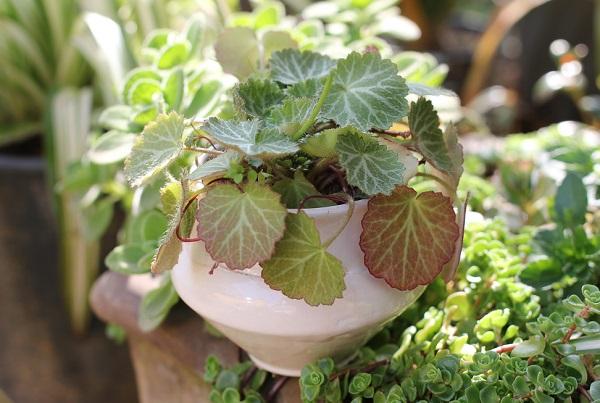 ユキノシタの植木鉢と庭の植物の写真