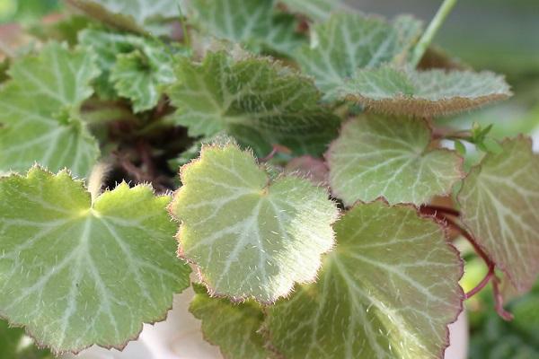 ユキノシタの美しい葉のアップ写真