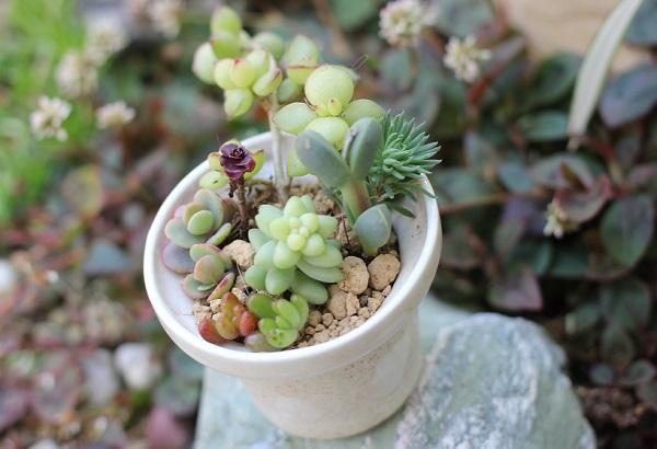 椎猫白魚(しいね しらうお)の小さな植木鉢に色んな多肉植物を植えた写真