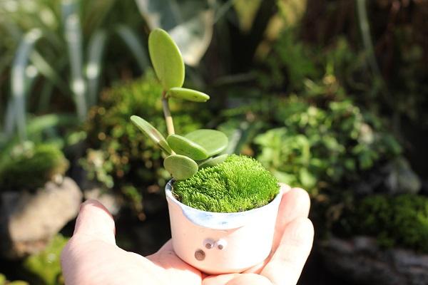 椎猫白魚(しいね しらうお)、手のひらに乗せてみた帽子とユニークな顔が可愛い小さな植木鉢で作ったミニ盆栽の写真