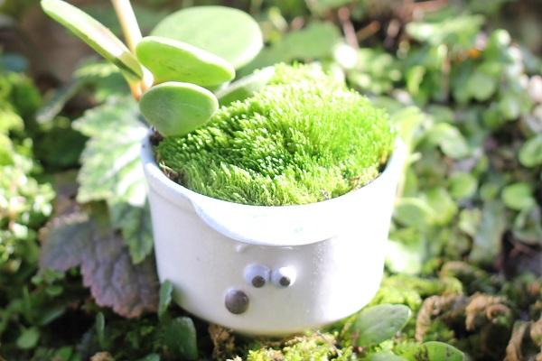 椎猫白魚(しいね しらうお)の小さな植木鉢で作った盆栽のアップ写真