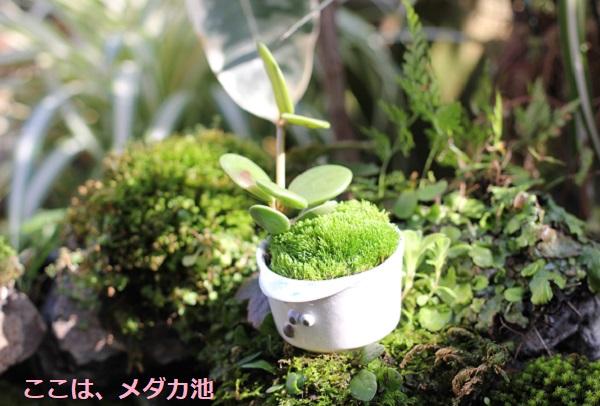 メダカ池をのぞき込んでる小さな盆栽鉢の写真(椎猫白魚(しいね しらうお)
